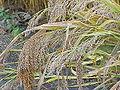 Panicum miliaceum1.jpg