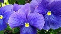 Pansies Purple 2 (262410229).jpeg