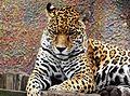 Panthera onca Colombia.JPG