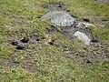 Papallona entre el Prat Fondal i l'estany Mal P1300521.jpg