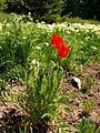 Papaver (Poltava Botanical garden).jpg
