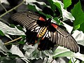 Papilio memnon * Mariposa cola de golondrina (6964601621).jpg