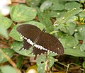 Papilio polytes (Common Mormon) male from Chalavara.jpg