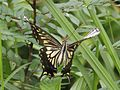 Papilio xuthus (in flight).JPG
