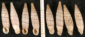 Papillifera papillaris - Shells of Papillifera papillaris from the island of Malta. Scale bar is in mm.
