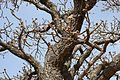 Parc national de la Pendjari-Vitellaria paradoxa (3).jpg