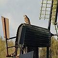 Park Cronesteyn Buizerd (Buteo buteo) (29838460463).jpg