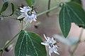 Passiflora pardifolia (1).jpg
