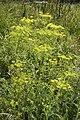 Pastinaca sativa vallee-de-grace-amiens 80 21072007 4.jpg