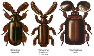 Paussidae