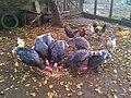 Pavos y gallinas en el campo - panoramio.jpg