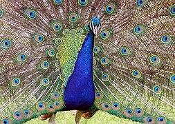 Peacock.detail.arp.750pix.jpg