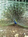 Peacock At Toranmal Forest Office.jpg