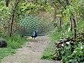 Peacock in Queenstown garden.jpg