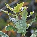 Pedunculate Oak (Quercus robur) - Nesodden, Norway 2020-09-20.jpg
