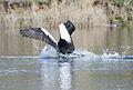 Pelecanus conspicillatus - Austins Ferry pouncing 2.jpg