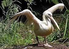 Pelican.great.white.arp.750pix.jpg