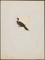 Penelope aburri - 1820-1860 - Print - Iconographia Zoologica - Special Collections University of Amsterdam - UBA01 IZ16900137.tif