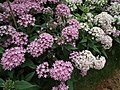 Pentas Cornia from Lalbagh flower show Aug 2013 8260.JPG