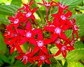 Pentas lanceolata red flowers.jpg