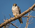 Peregrine Falcon (33915225262).jpg