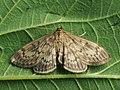 Perinephela lancealis (40134410074).jpg