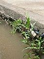 Persicaria aff maculosa Polygonum 013.jpg