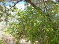 Persoonia hirsuta flower buds, Boree Track, Yengo National Park.jpg
