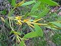 Persoonia lanceolata 2.jpg