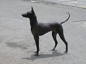 Peruvian Hairless Dog - A perfect example of the pedigree Peruvian Hairless Dog