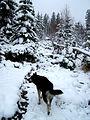 Pes-sibiřský-husky-malamut.jpg