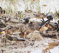 Petrochelidon rufigula, broeikolonie in Angola, Birding Weto, a.jpg