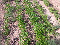Petroselinum crispum 1.jpg