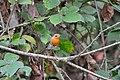 Pettirosso (Erithacus rubecula) - European robin, Milano, Italia, 07.2018.jpg