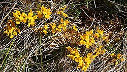 Petty Whin (Genista anglica) - geograph.org.uk - 424940.jpg