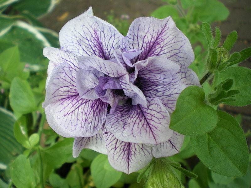 File:Petunia Hybrida Sweet Sunshine lilac.jpg