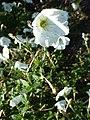 Petunia acillaris (Solanaceae) plant.JPG