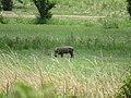Phacochere dans la prairie.jpg