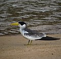 Phaetusa simplex Gaviotín picudo Large-billed Tern (8491025453).jpg