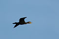 Phalacrocorax (11060695755).jpg