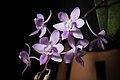 Phalaenopsis equestris var. rosea (Luzon, Philippines) Valmayor & D.Tiu, Philipp. Orchid Rev. A-V(3)- 18 (1983) (38438791626).jpg