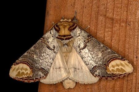 Phalera bucephala, Lodz(Poland)04(js).jpg