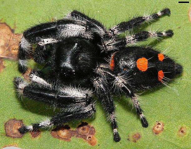 Bold Jumping Spider v Regal Jumping Spider - Printable Version
