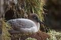 Phoebetria palpebrata - Nesting.jpg