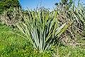 Phormium cookianum in Westland NP 01.jpg