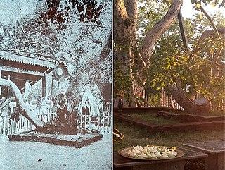 Jaya Sri Maha Bodhi Sacred tree in Sri Lanka