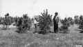 Photograph of Shortleaf Pine Plantation on a Private Farm Near Farmington, Missouri - NARA - 2129471.tif