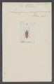 Photuris - Print - Iconographia Zoologica - Special Collections University of Amsterdam - UBAINV0274 025 05 0010.tif