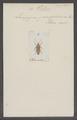 Photuris - Print - Iconographia Zoologica - Special Collections University of Amsterdam - UBAINV0274 025 05 0010.tif