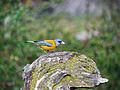 Phrygilus gayi, Patagonia 1.jpg